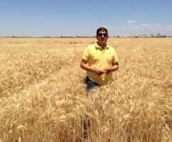 El productor de trigo Gilberto Ibarra comentó que de acuerdo a la carga en las plantas del rubio cereal se estima que se logrará en promedio 6 toneladas.